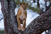 Vigilante - un León en la tutela de un árbol.