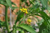 Blumen Tomate auf die