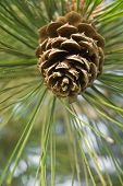 Pine Cone Selective Focus
