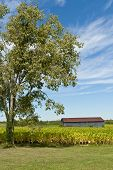 foto of tobacco barn  - Country landscape with barn and tobacco plants field - JPG