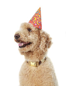 pic of parti poodle  - cute beigne poodle wearing party hat white background - JPG