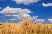Ripe Wheat Against A Blue Sky