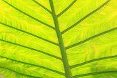 Green Fresh Arrowroot Leaf Texture