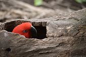 Red Electus Parrot