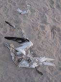 Dead Beached Seagull