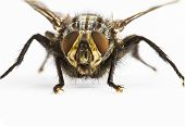 image of blowfly  - lose up of a large fly facing camera on plain background - JPG