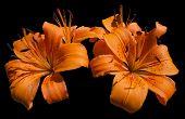Blumen Orange Lilie - Lilium