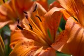 Orange Lily Background