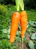 Bunch Of Pulled Out Carrots
