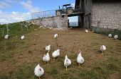 foto of farm land  - free-range chicken roaming around farmyard with tractor in background