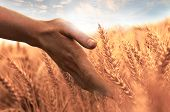 Touch Of Wheat Ear
