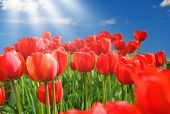 Field Of Red Tulips With Blue Sky And Starburst Sun