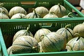 image of muskmelon  - Small cantaloupe melons in green boxes at farmers market - JPG