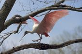 Spoonbill Bird Walking A Limb