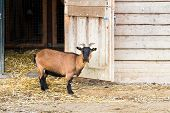 Goat On Farm Standing Next To Barndoor