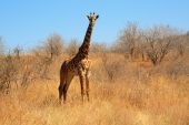 Young giraffe in bush