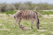 Burchells Zebra (equus Burchelli) With Young