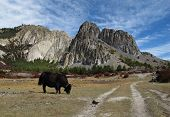 Grazing yak and limestone formation