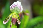 Tropical  Beautiful  Orchid