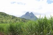 sugarcane field in Mauritius.
