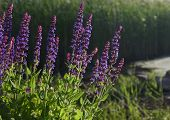 pic of purple sage  - Sage in evening sunlight Salvia officinalis closeup.