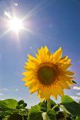 Zonnebloem en zon