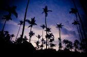 Purple sunset with silhouettes of palm trees