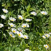 Green Flowering Meadow With White Daisies.