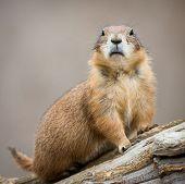 stock photo of prairie  - Frontal Portrait of a Curious Prairie Dog - JPG