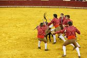 LISBON - JUNE 19: Forcados de Arruda dos Vinhos bullfighters performs at a portuguese style bullfigh