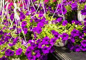 Colorful Impatiens Flowers In Containers