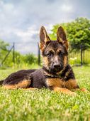 German shepherd puppy lying down in the grass