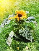 Beautiful Sunflower In The Sunshine.