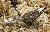 picture of snipe  - Snipe wading bird in the nest nature wildlife - JPG