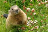 stock photo of groundhog  - Cute groundhog happily surrounded by fresh grass and wild flowers - JPG