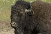 Buffalo Close Up.