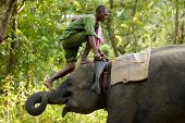 SAUHARA, NEPAL, NOVEMBER 19: Mahout climbing on his elephant by the trunk before riding in the village of Sauhara in the Chitwan national park, Terai province, in Nepal on November 19, 2010