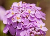 Iberis umbellata, Candytuft flower in delicate light purple color
