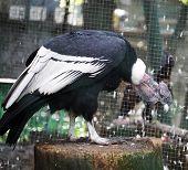Condor in zoo