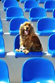English cocker spaniel at stadium