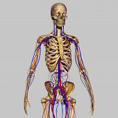 image of skeletal  - is the part of the peripheral nervous system associated with the voluntary control of body movements via skeletal muscles - JPG