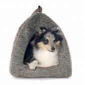 Shetland Puppy