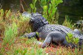 picture of crocodilian  - Alligator Ding Darling Wildlife Refuge Sanibel Florida - JPG