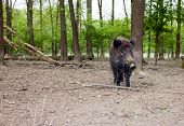 Lonely Wild Boar