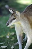 image of wallaby  - A close up shot of an Australian Wallaby - JPG