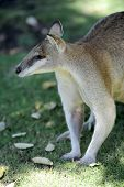 foto of wallabies  - A close up shot of an Australian Wallaby - JPG
