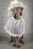 Weimaraner Dog Wearing A Hat