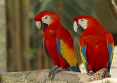Pair Macaw birds