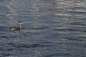 foto of grebe  - Young great crested grebe and reflections of the masts of sailboats - JPG