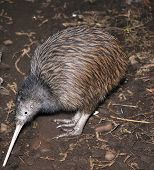 foto of australie  - North Island brown kiwi Apteryx australis searching for food in New Zealand bush setting - JPG